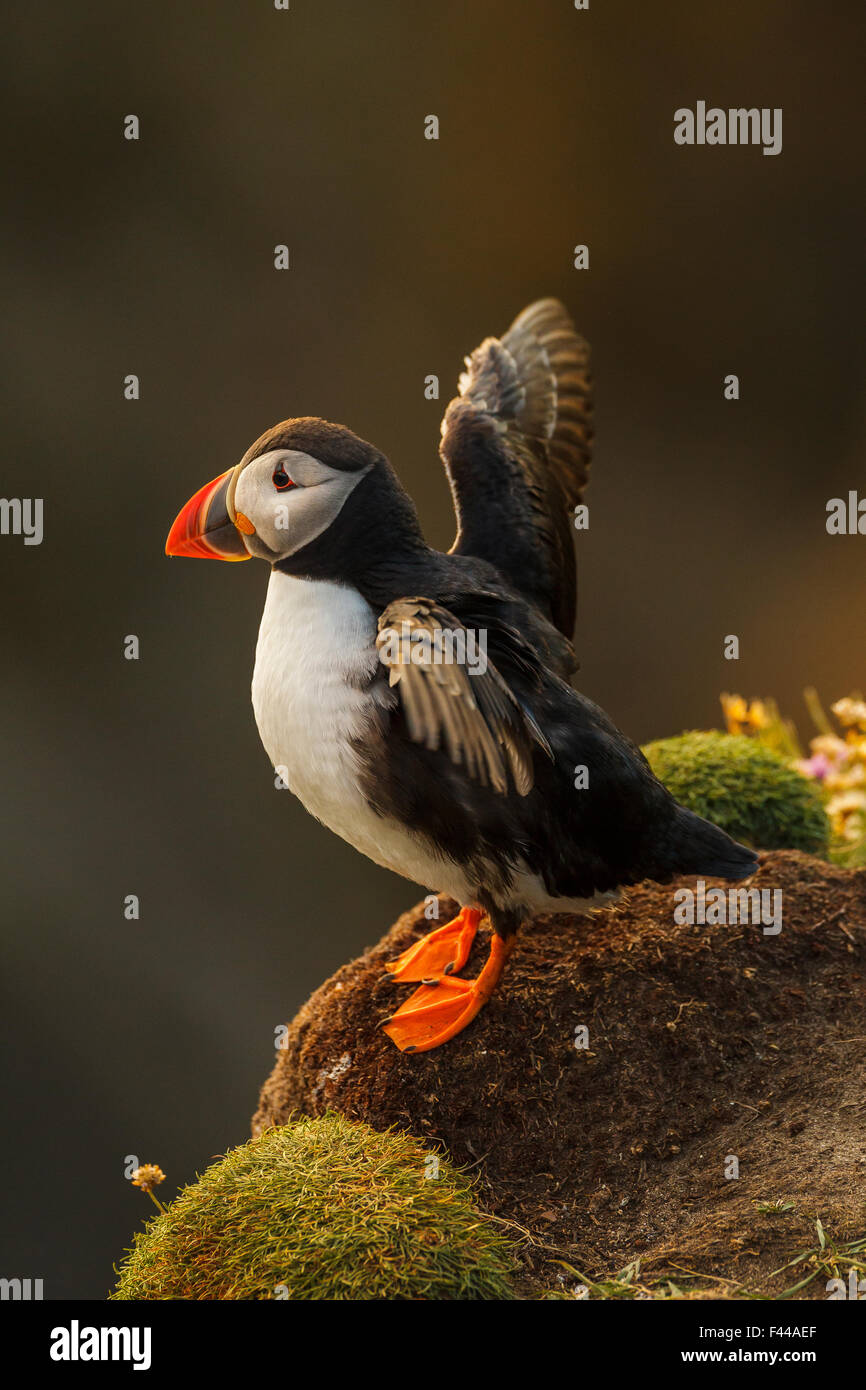 Puffin (Fratercula arctica) stretching wings, late evening light. Shetland Islands, Scotland, July. - Stock Image