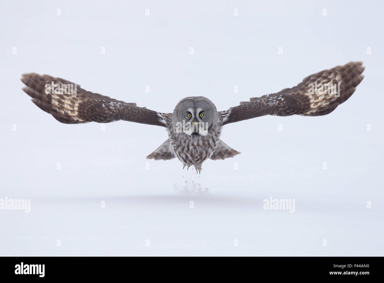 Great Grey owl (Strix nebulosa) taking off from the ground in snow, Finland, April. Bookplate from Danny Green's - Stock Image