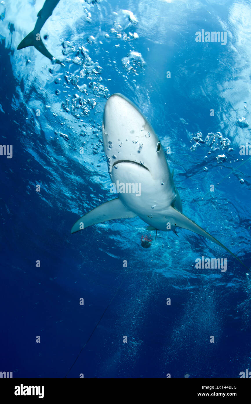 Great Blue shark (Prionace glauca) viewed from just below the surface, Pico Island, Azores, Portugal, Atlantic Ocean Stock Photo