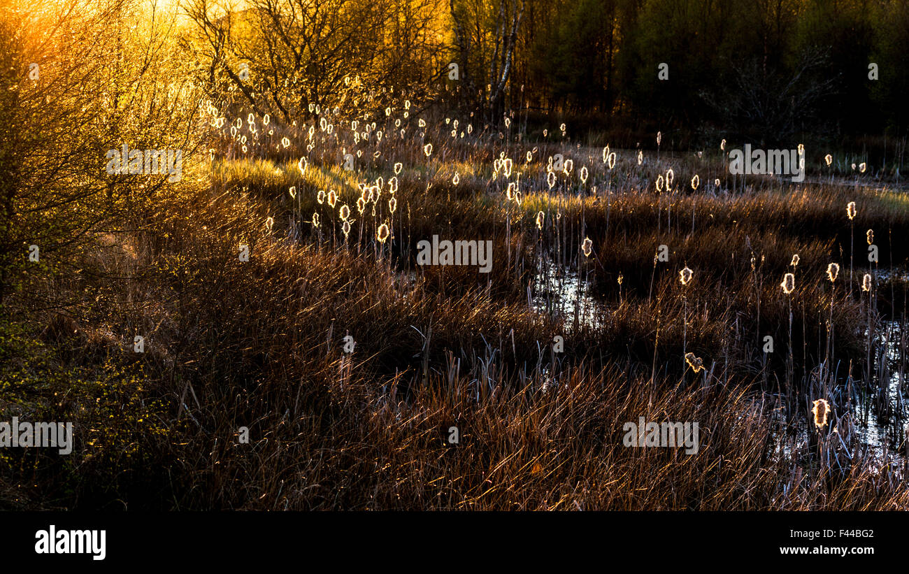 Sun shinning through the trees onto wetlands - Stock Image