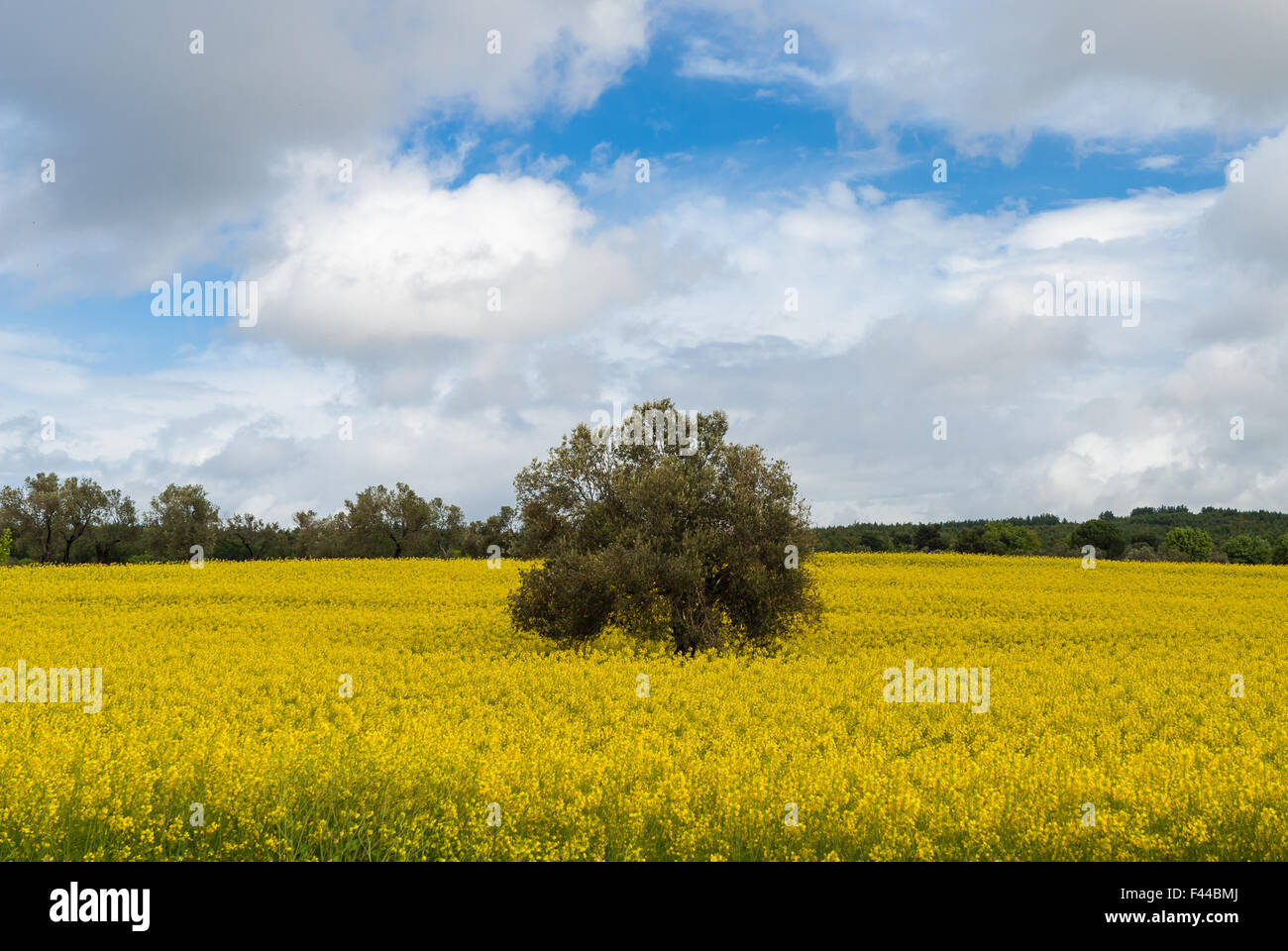 Lone tree in a field with yellow flowers on the gallipoli peninsula lone tree in a field with yellow flowers on the gallipoli peninsula turkey mightylinksfo