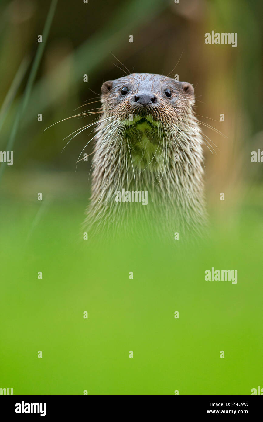 European Otter (Lutra lutra) portrait. Controlled conditions. UK, October. - Stock Image