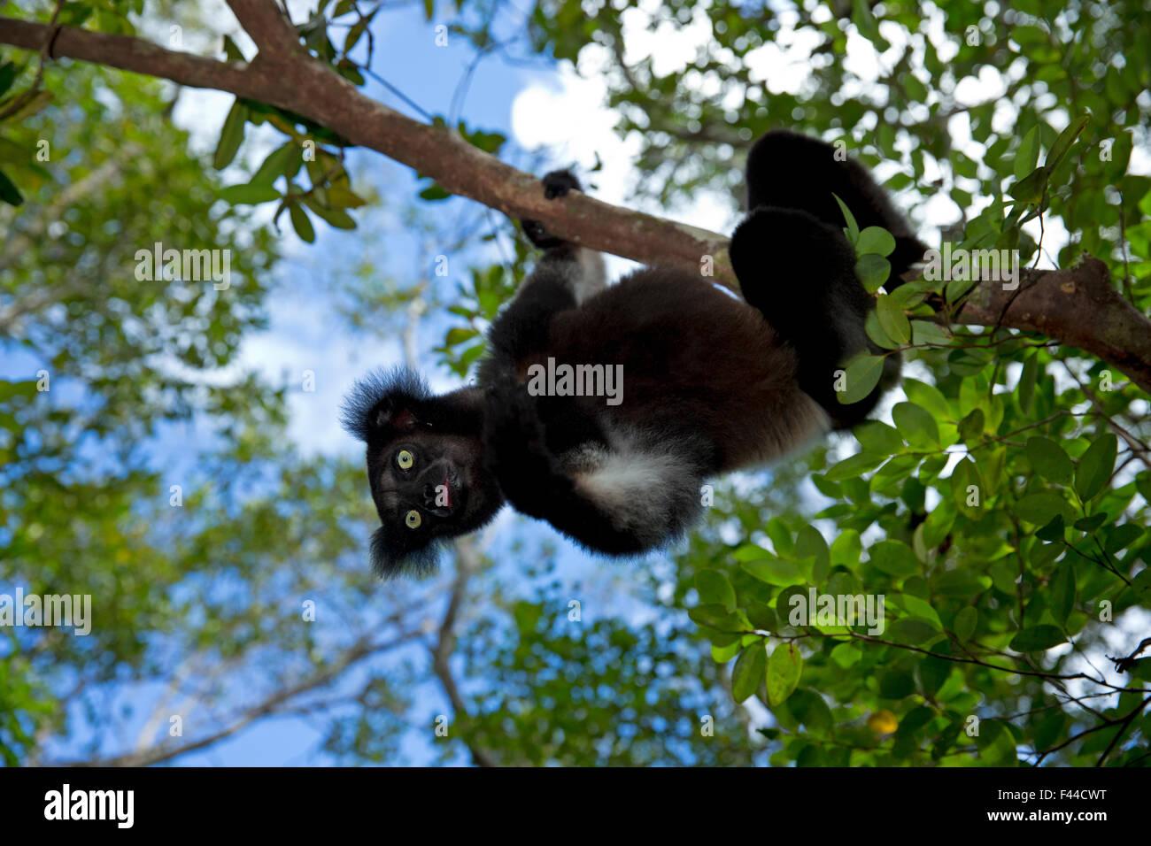 Indri (Indri indri) portrait in tropical rainforest habitat. Madagascar. - Stock Image