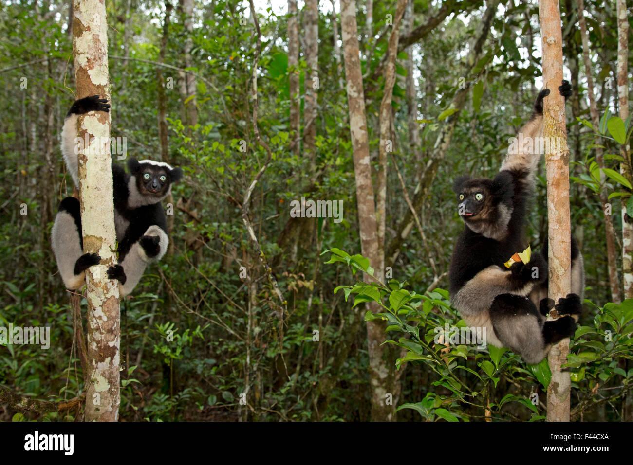 Indri (Indri indri) on trees in tropical rainforest habitat. Madagascar. - Stock Image
