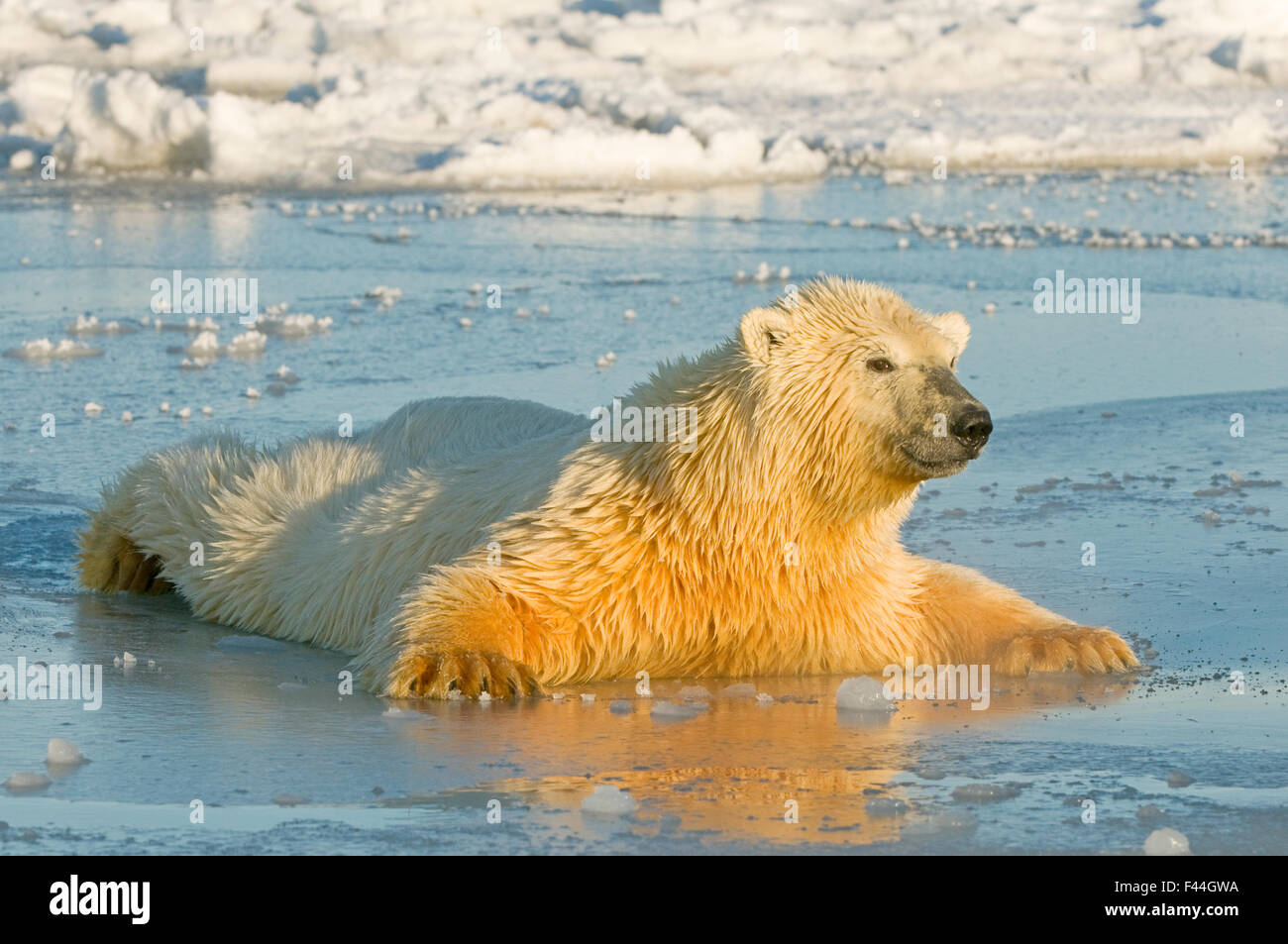 Polar bear (Ursus maritimus) juvenile spreading body weight over thin newly forming pack ice, trying not to break - Stock Image