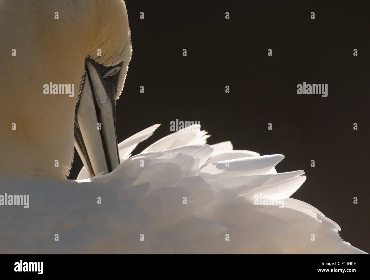 Gannet (Morus bassanus) preening, Shetland Islands, Scotland, UK,  September - Stock Image