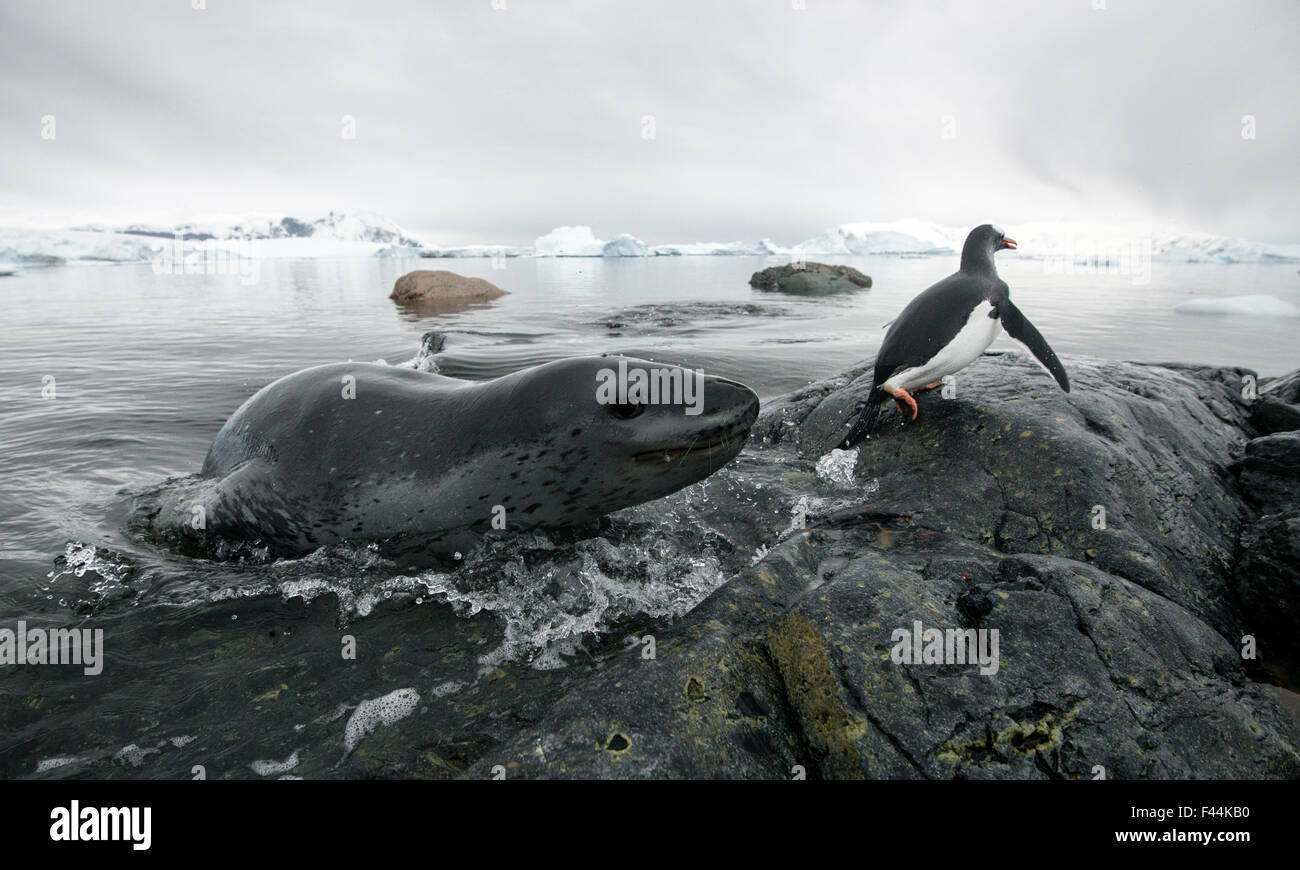 Leopard seal (Hydrurga leptonyx) hunting Gentoo Penguin (Pygoscelis papua) into shore, Cuverville Island, Antarctic - Stock Image