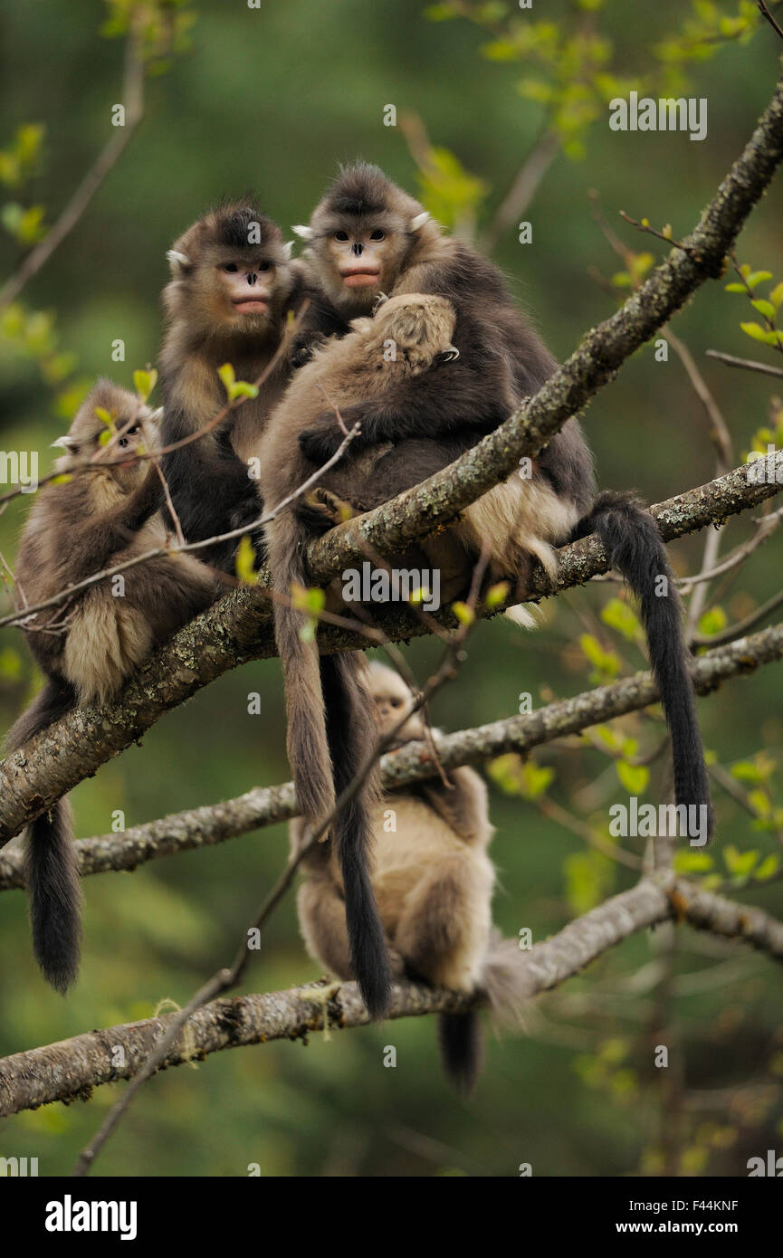 Yunnan Snub-nosed monkey (Rhinopithecus bieti) group with two adults and three babies, Ta Chen NP, Yunnan province, - Stock Image