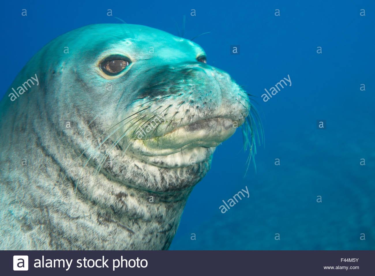 Male Hawaiian monk seal (Monachus schauinslandi)  at Lehua Ledges dive site, Lehua Rock, near Niihau, off Kauai, - Stock Image