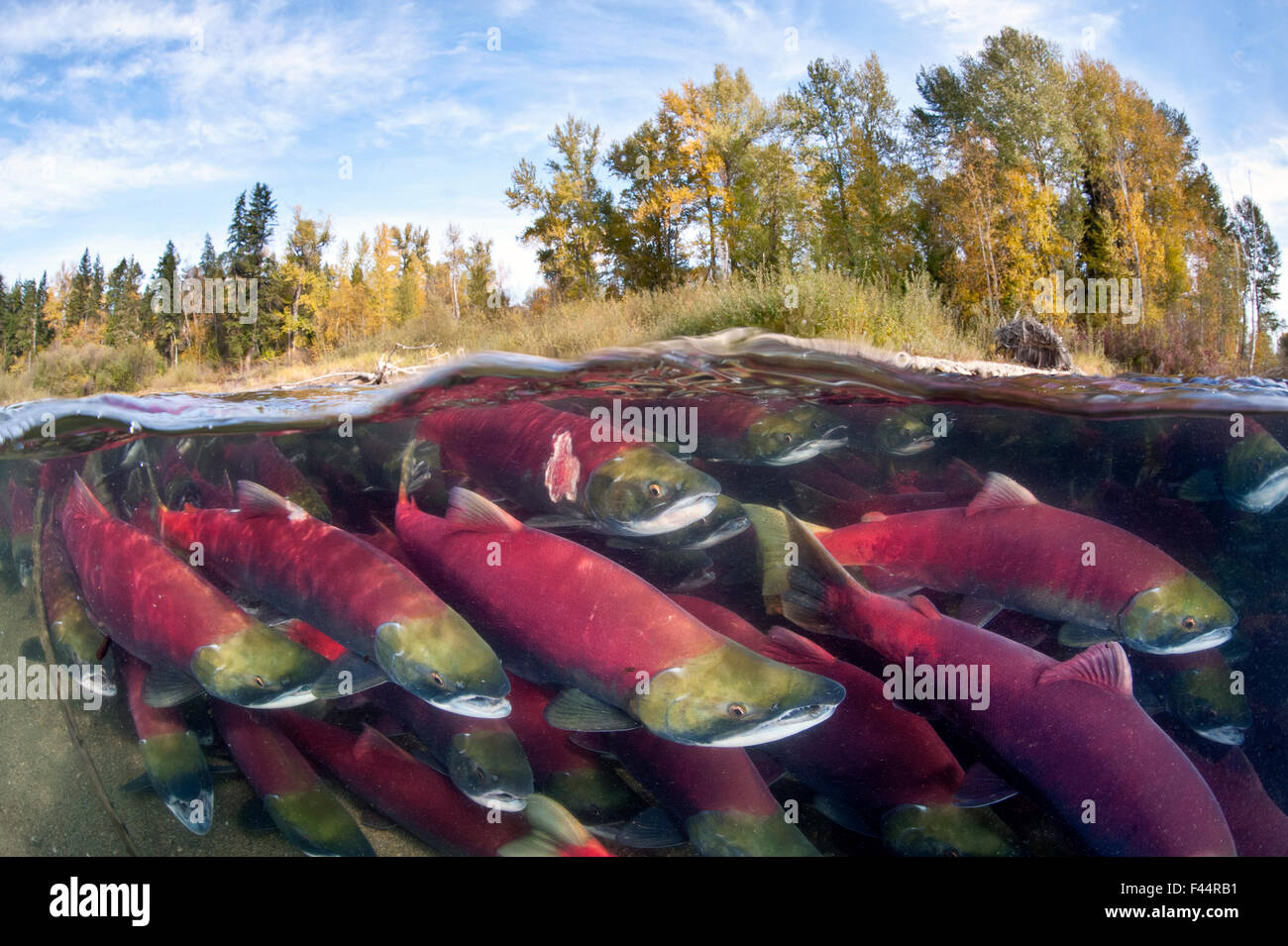 A split level photo of group of Sockeye salmon (Oncorhynchus nerka) fighting their way upstream as they migrate - Stock Image