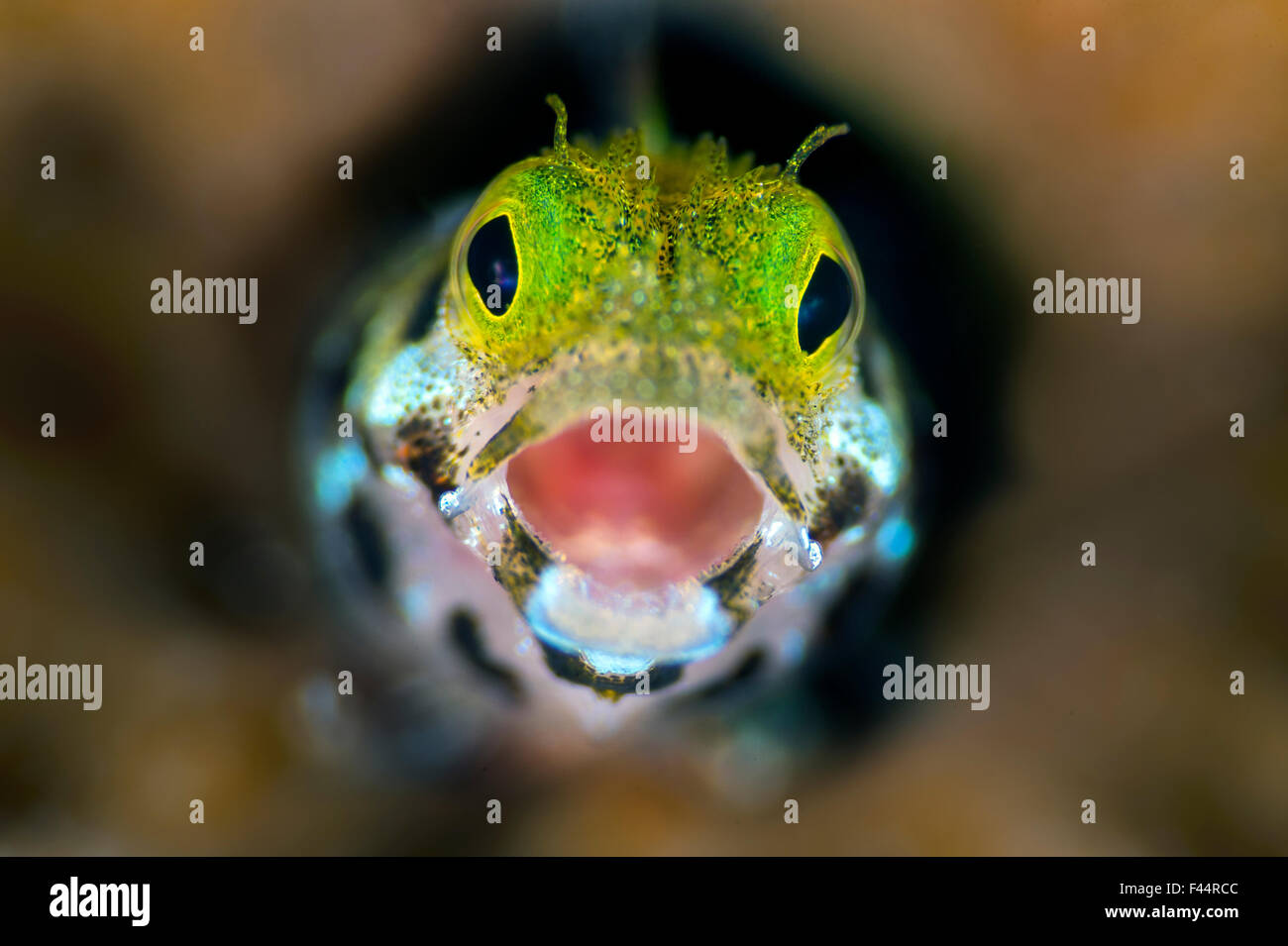 Secretary blenny (Acanthemblemari maria) yawns as it peers out from a hole in the reef. West Bay, Grand Cayman, - Stock Image