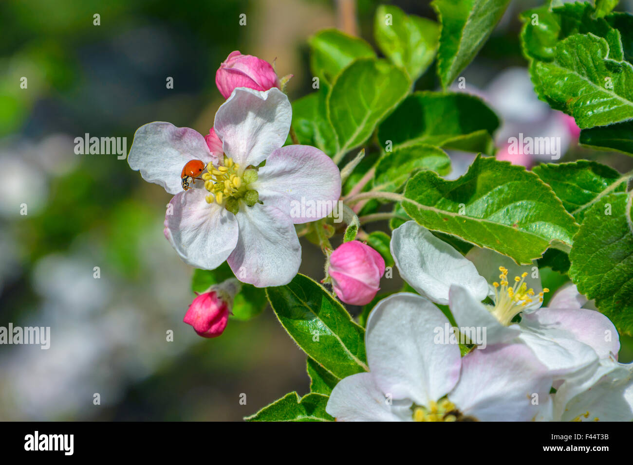 Blossoming branch of a apple tree Stock Photo