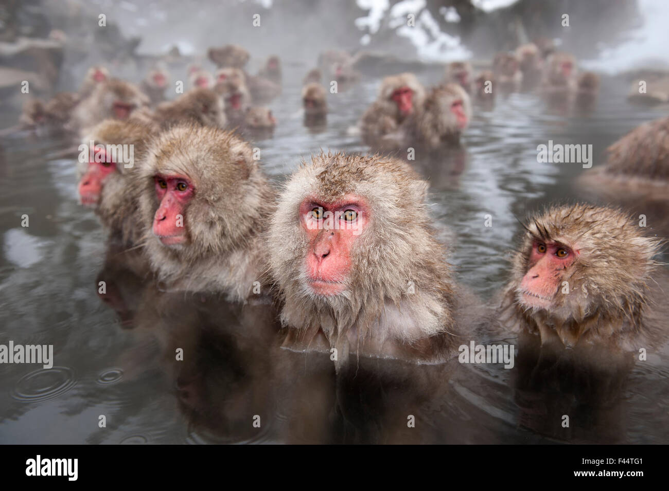 Japanese Macaques (Macaca fuscata) in hot springs, Jigokudani, Nagano Prefecture, Honshu, Japan - Stock Image