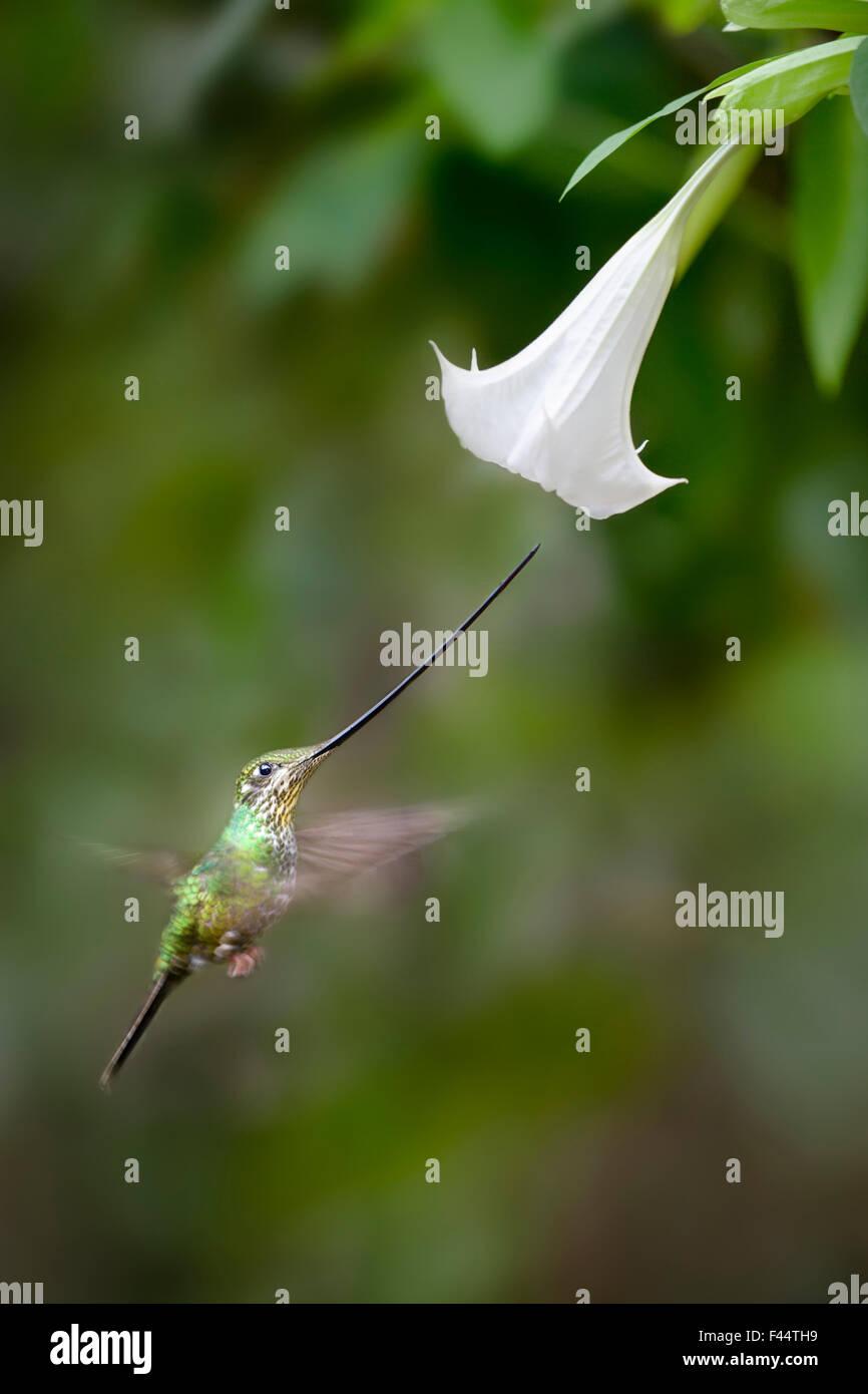 Sword-billed Hummingbird (Ensifera ensifera) feeding at an Angel's or Devil's Trumpet Flower (Datura sp.). - Stock Image