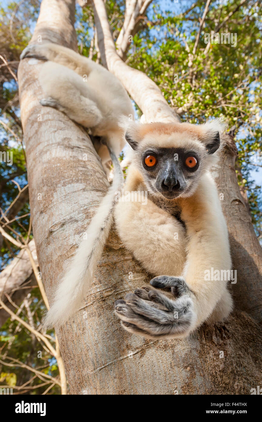 Golden-crowned Sifaka or Tattersall's Sifaka (Propithecus tattersalli) climbing down tree in forests near Andranotsimaty, - Stock Image