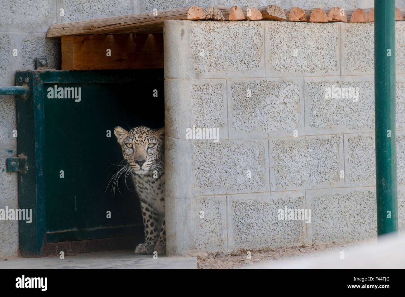 Male Arabian Leopard (Panthera pardus nimr) looking out at its enclosure, at the Arabian Wildlife Centre & captive - Stock Image