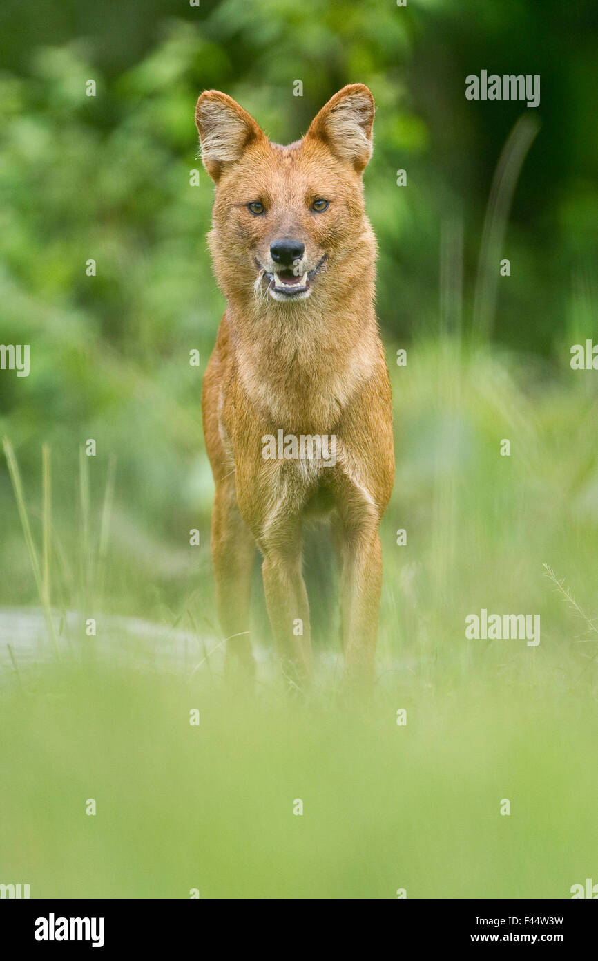 Asiatic wild dog / Dhole (Cuon alpinus) at a coffee plantation, Mudumalai National Park, Tamil Nadu, India. Endangered. - Stock Image