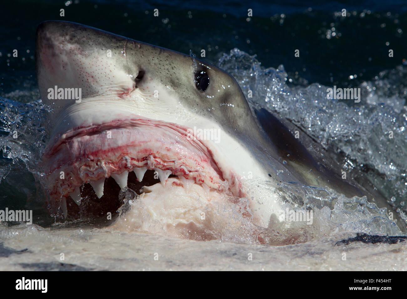 Great white shark (Carcharodon carcharias) feeding on Brydes whale carcass (Balaenoptera brydei), Seal Island, False - Stock Image
