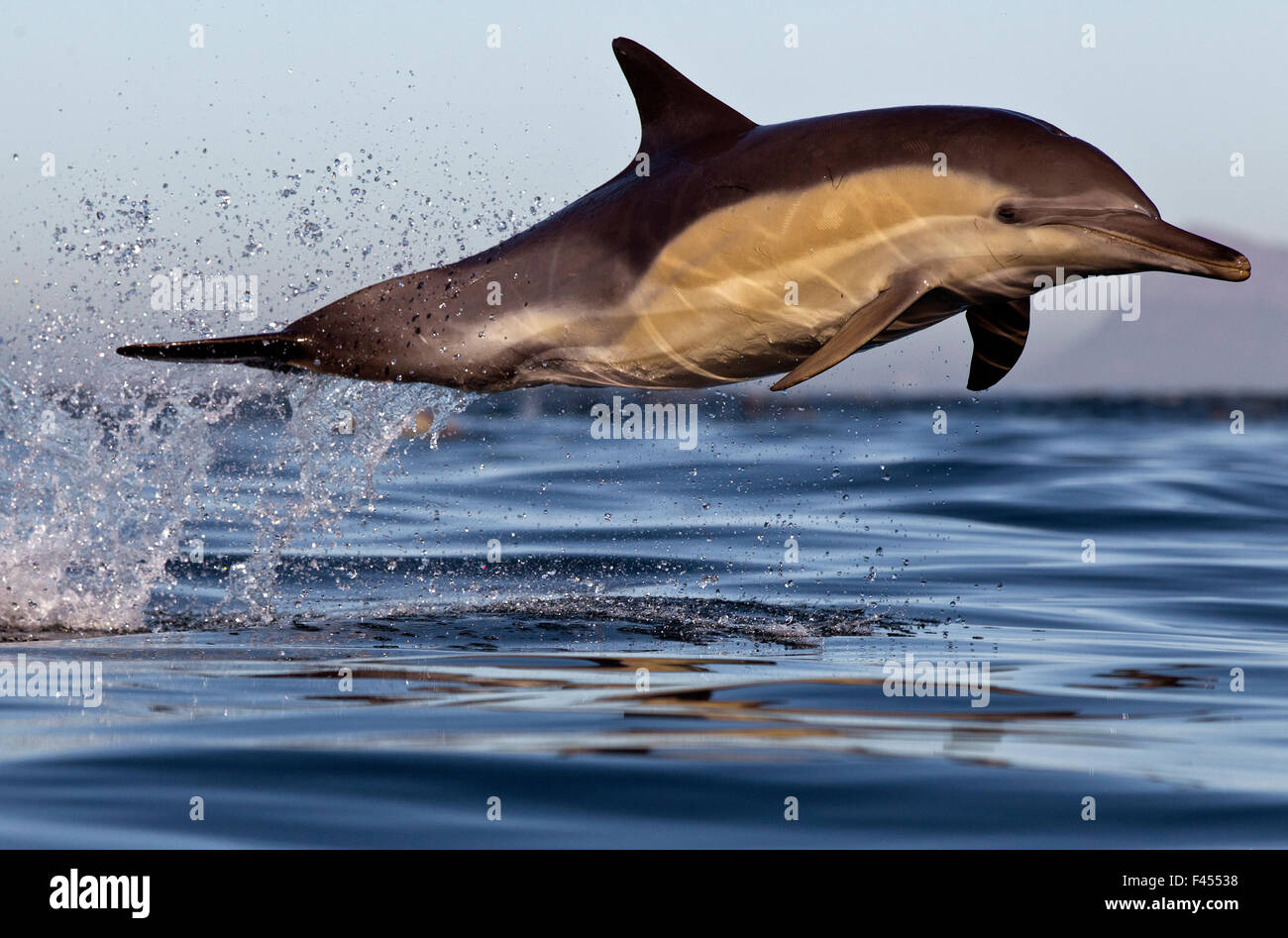 Common dolphin (Dephinus delphis) porpoising, False Bay, Cape Town, South Africa. - Stock Image