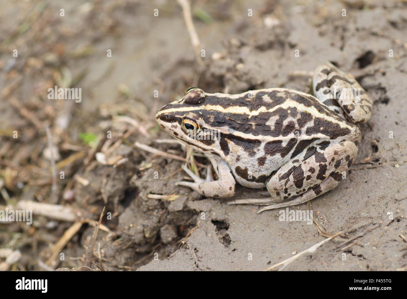 Black-spotted Pond Frog or Dark-spotted frog (Rana nigromaculata) in Japan Stock Photo