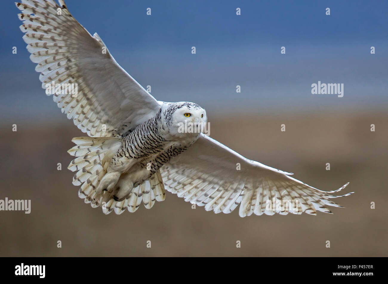 Snowy owl (Bubo scandiacus) in flight, Boundary Bay, British Columbia, Canada. February. First place in the Overall - Stock Image