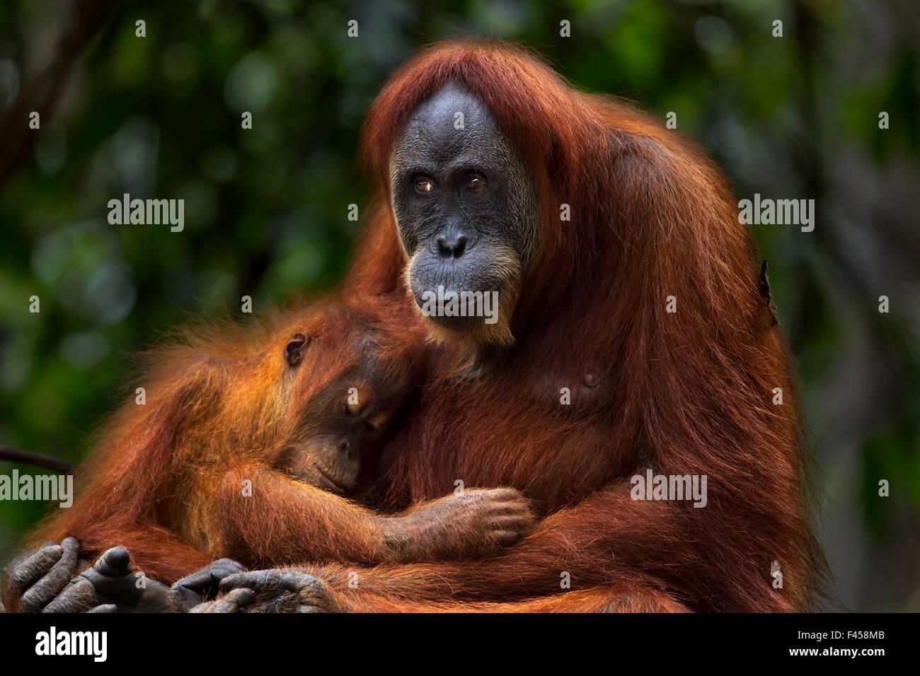 Sumatran orangutan (Pongo abelii) female 'Ratna' aged 24 years sitting with her baby daughter 'Global' - Stock Image