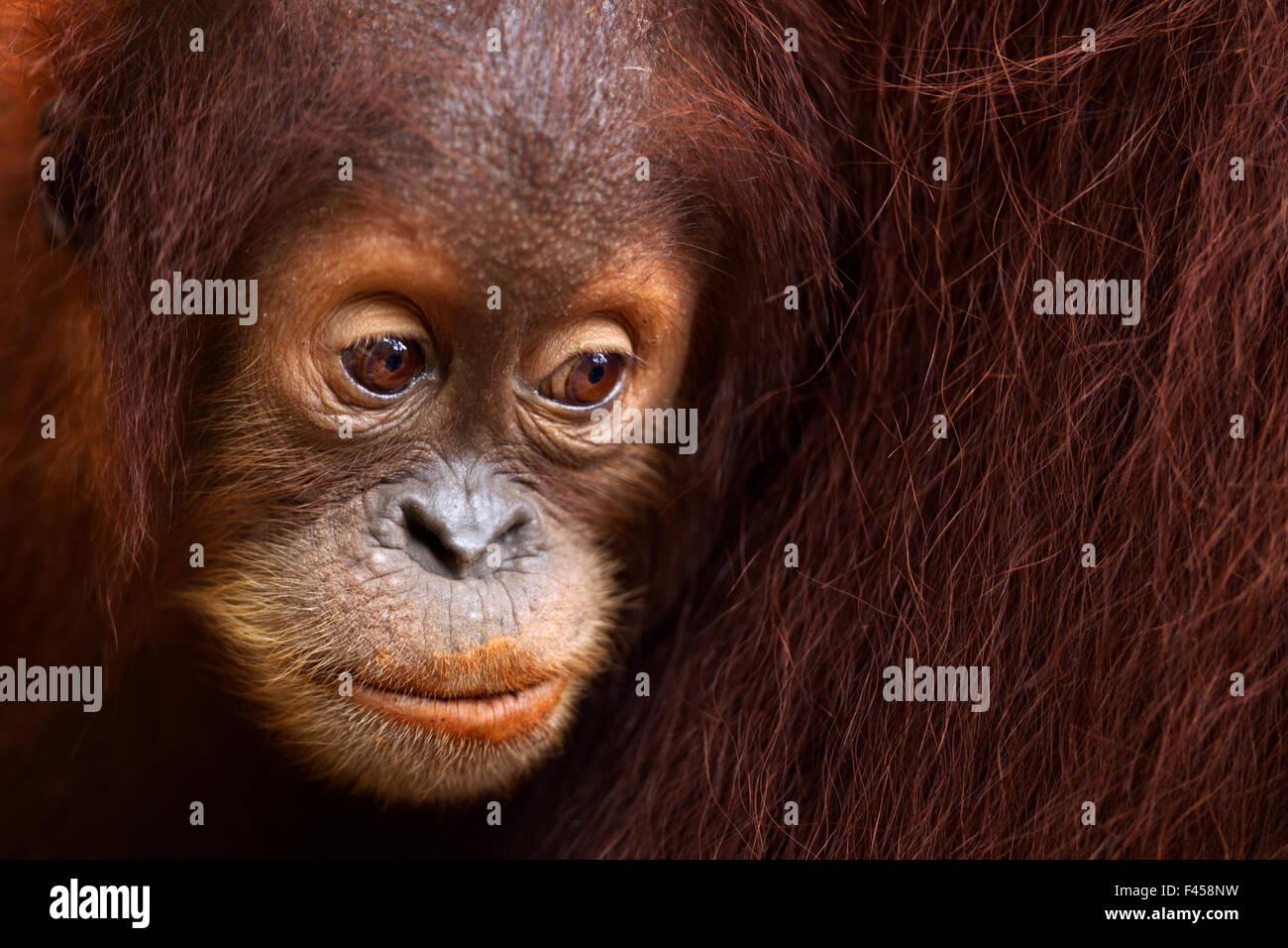 Sumatran orangutan (Pongo abelii) female baby 'Sumi' aged 2-3 years portrait. Gunung Leuser National Park, - Stock Image