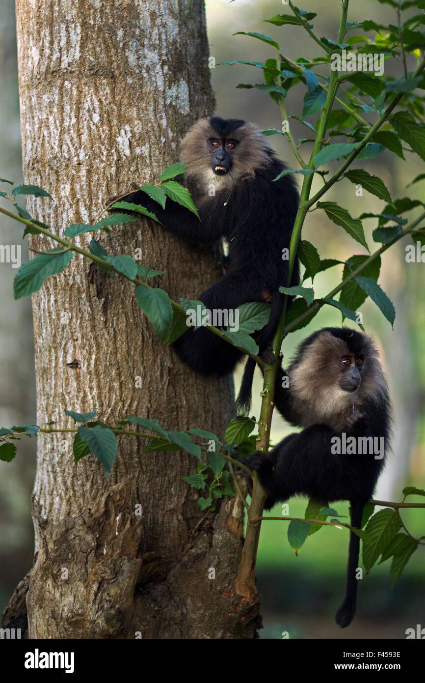 Lion-tailed macaque (Macaca silenus) juveniles in a tree. Anamalai Tiger Reserve, Western Ghats, Tamil Nadu, India. - Stock Image