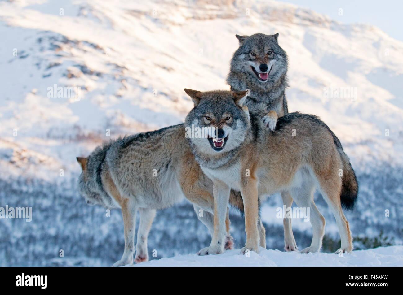 Three European grey wolves (Canis lupus), captive, Norway, February. Stock Photo