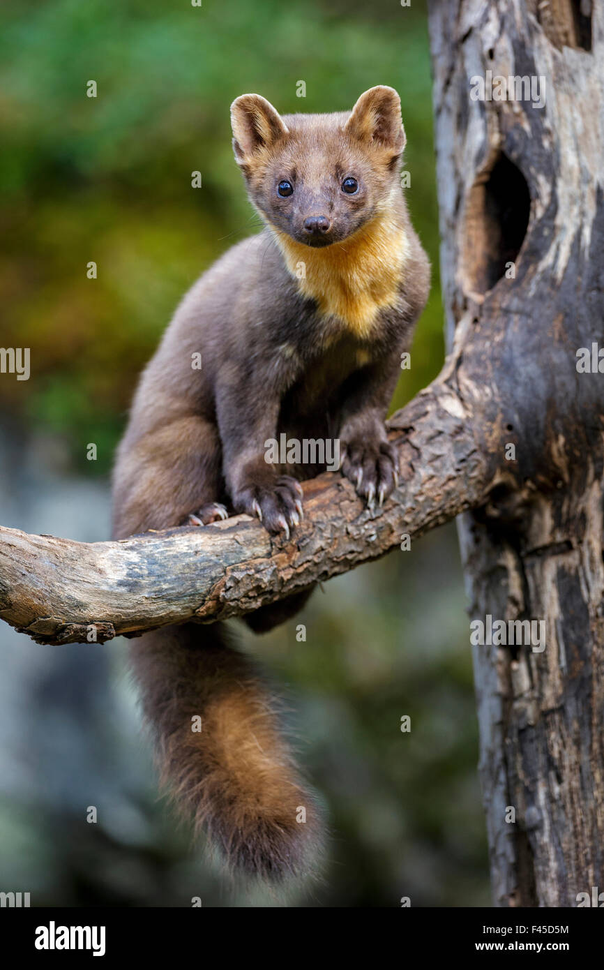 Pine marten martes martes juvenile male sitting on for M marten giardino fiorito