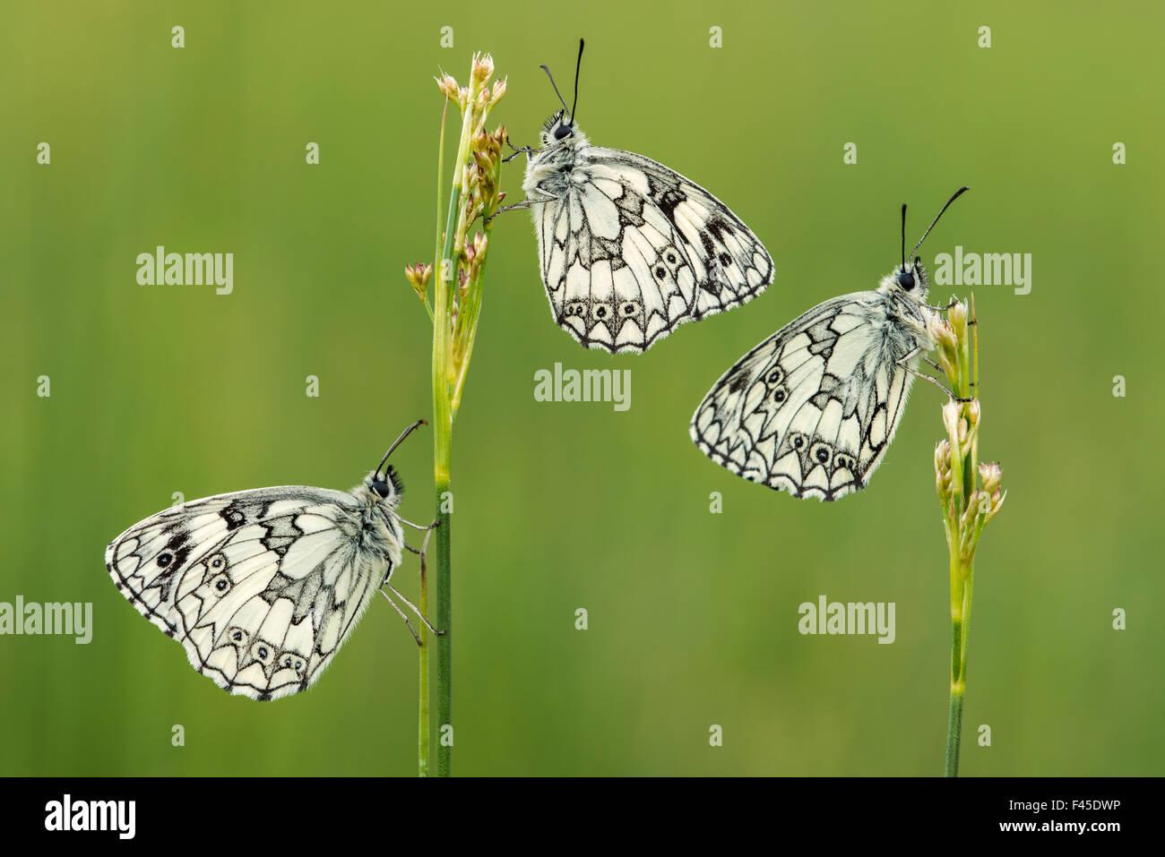 Three Marbled white butterflies (Melanargia galathea) resting on reeds, Devon, UK, July. - Stock Image