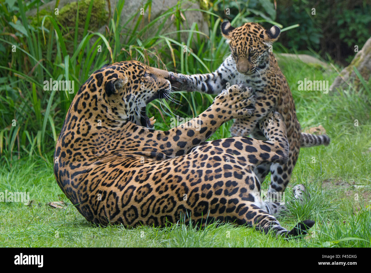 Female Jaguar (Panthera onca) playing with her cub, captive, occurs in Southern and Central America. - Stock Image