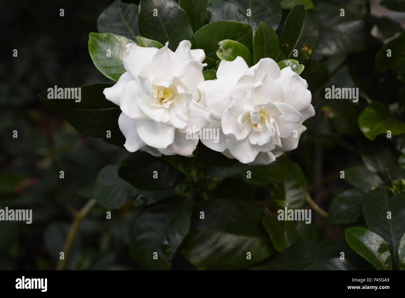White Gardenia Flower Stock Photo 88633057 Alamy