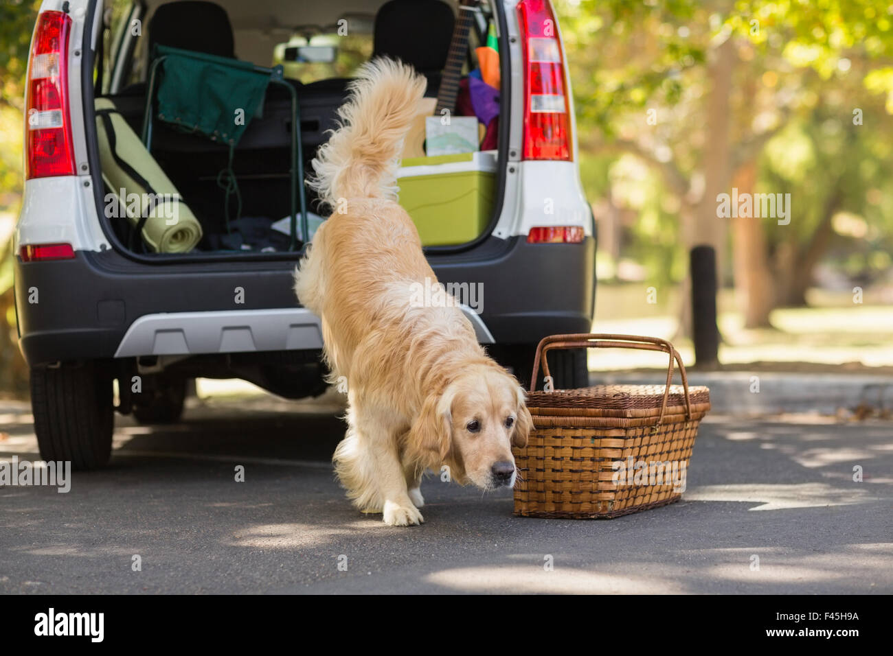Domestic dog in car trunk - Stock Image