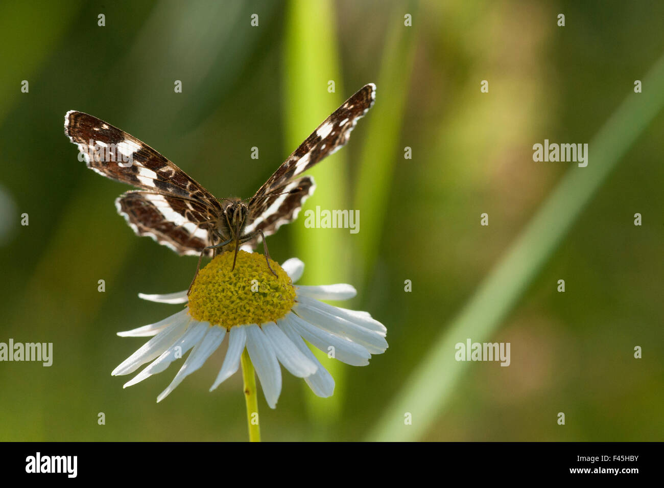 Map Butterfly (Araschnia levana) feeding on anthemis, second generation, southern Finland, July. - Stock Image