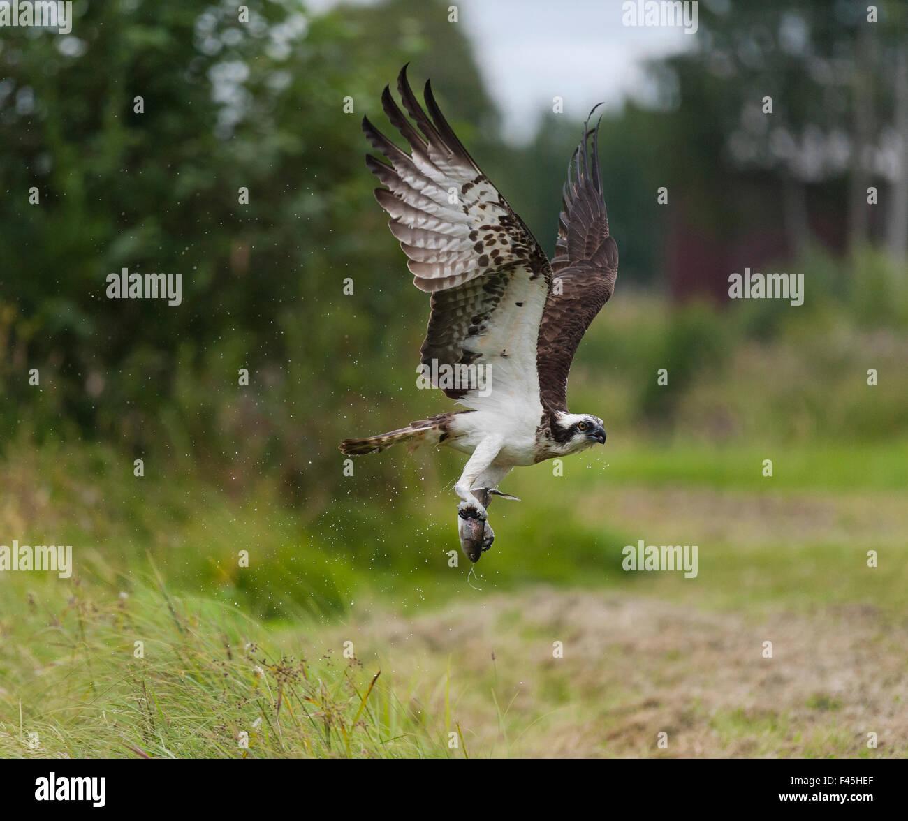 Osprey (Pandion haliaetus) flying with fish prey, Pirkanmaa, Finland, August. Stock Photo