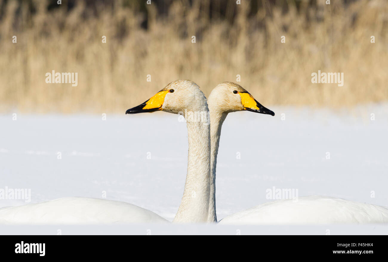 Whooper Swan (Cygnus cygnus) male and female facing in opposite directions, central Finland, April. - Stock Image