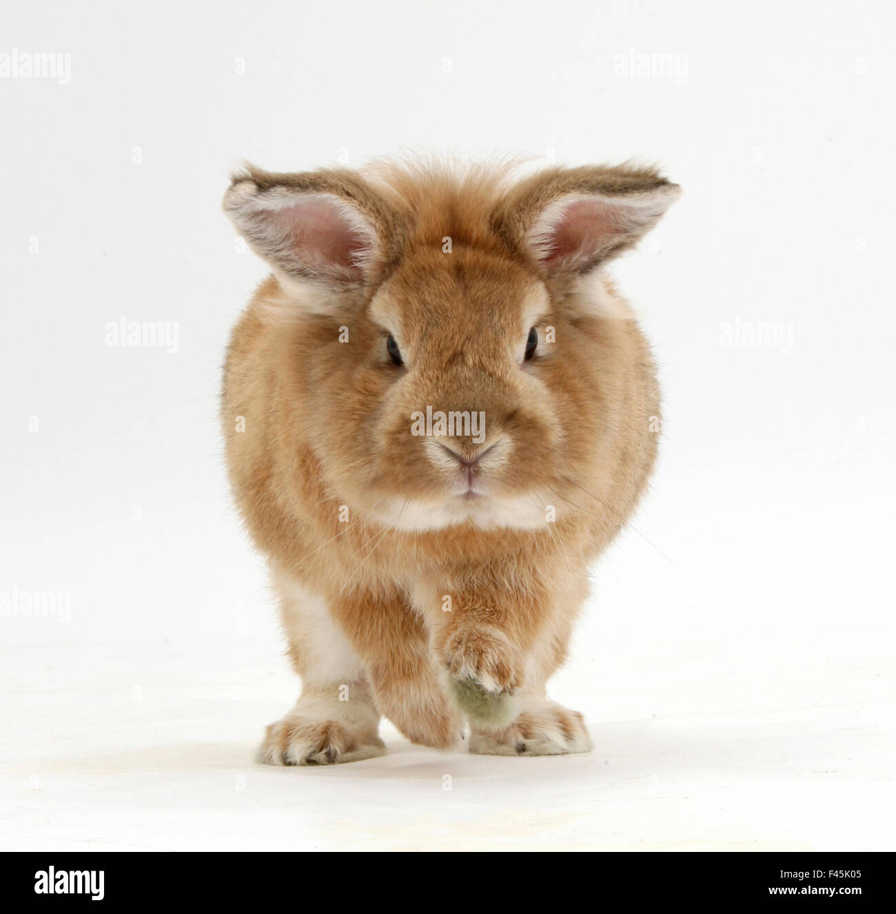 Lionhead x Lop rabbit, Tedson, running, against white background Stock Photo