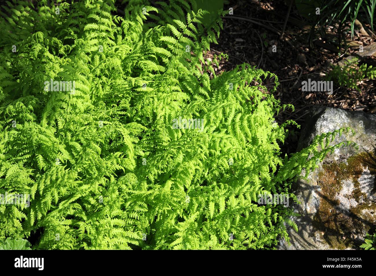 Eastern marsh fern Stock Photo