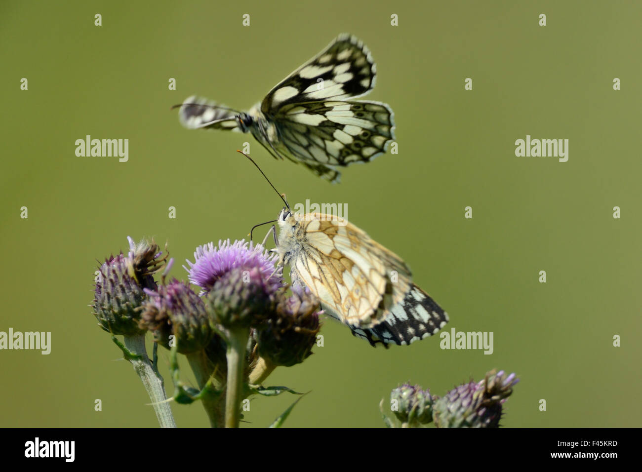 Female Marbled white butterfly (Melanargia galathea) feeding on a Creeping thistle flower (Cirsium arvense) in a - Stock Image