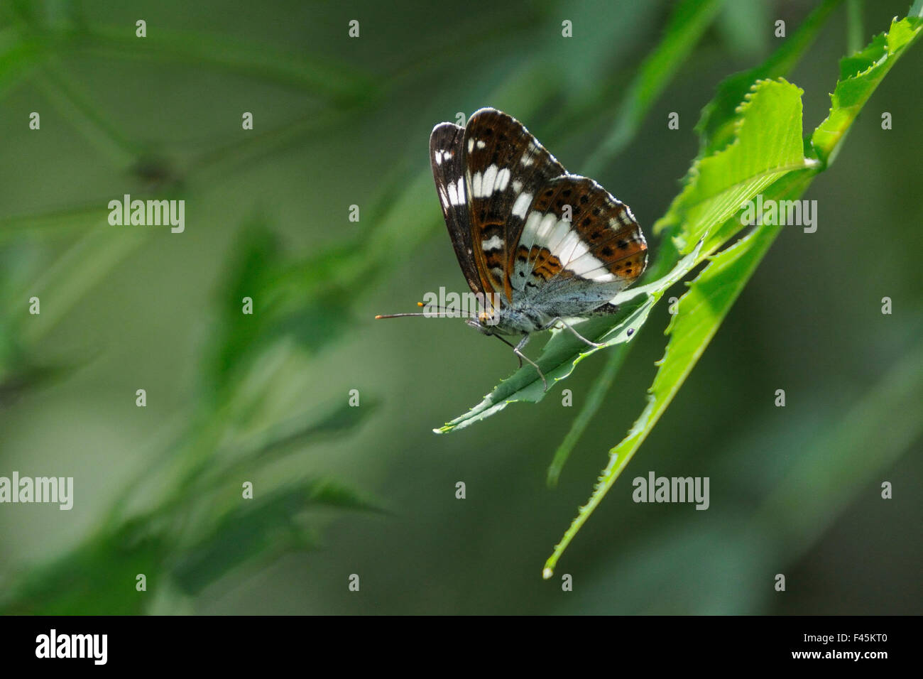 Male White admiral butterfly (Limenitis camilla) standing on sunlit leaves, guarding its territory and looking out - Stock Image
