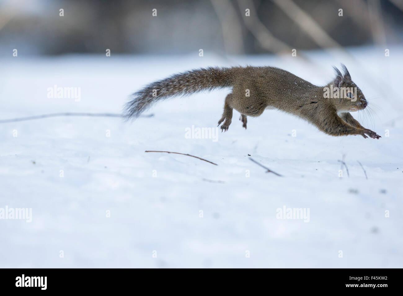 Japanese squirrel (Sciurus lis) running after an female in oestrus in the snow, Mount Yatsugatake, Nagano Prefecture, - Stock Image