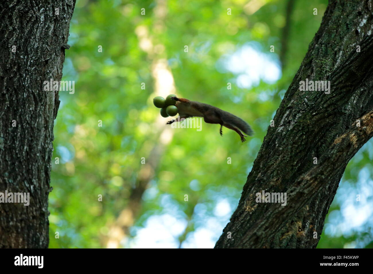 Japanese squirrel (Sciurus lis)  jumping from tree to tree with four Walnut (Juglans ailantifolia) in its mouth, - Stock Image