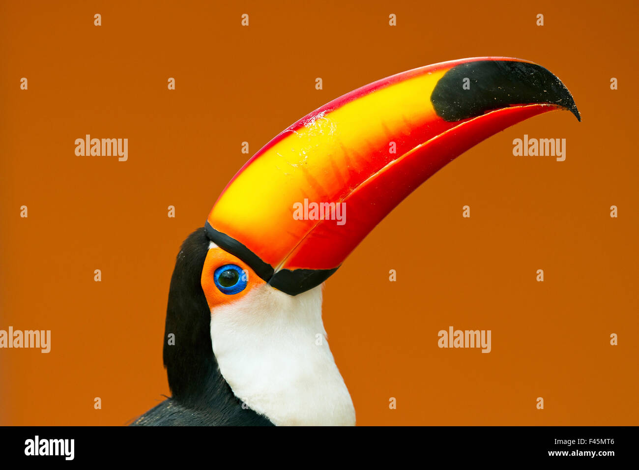 Toco Toucan (Ramphastos toco) head and beak profile portrait, Brazil. - Stock Image
