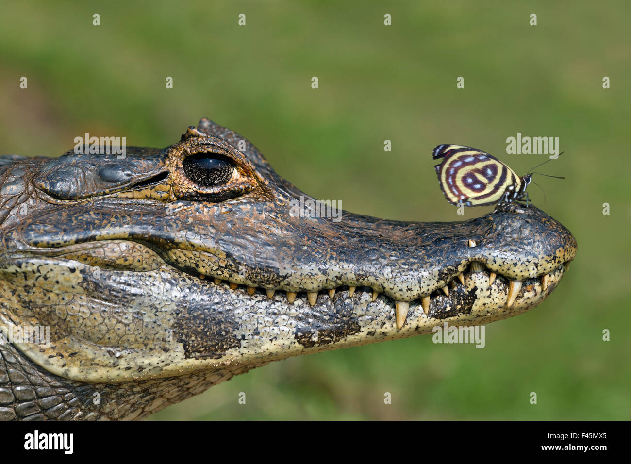 Yacare Caiman (Caiman yacare) with butterfly (Paulogramma pyracmon) resting on its snout, Pantanal, Brazil. Stock Photo