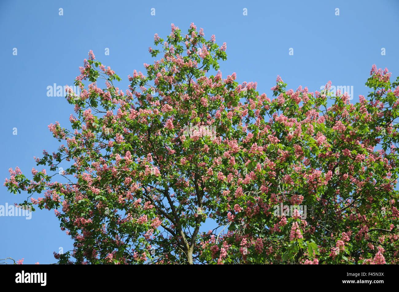 Redflowering horse chestnut Stock Photo