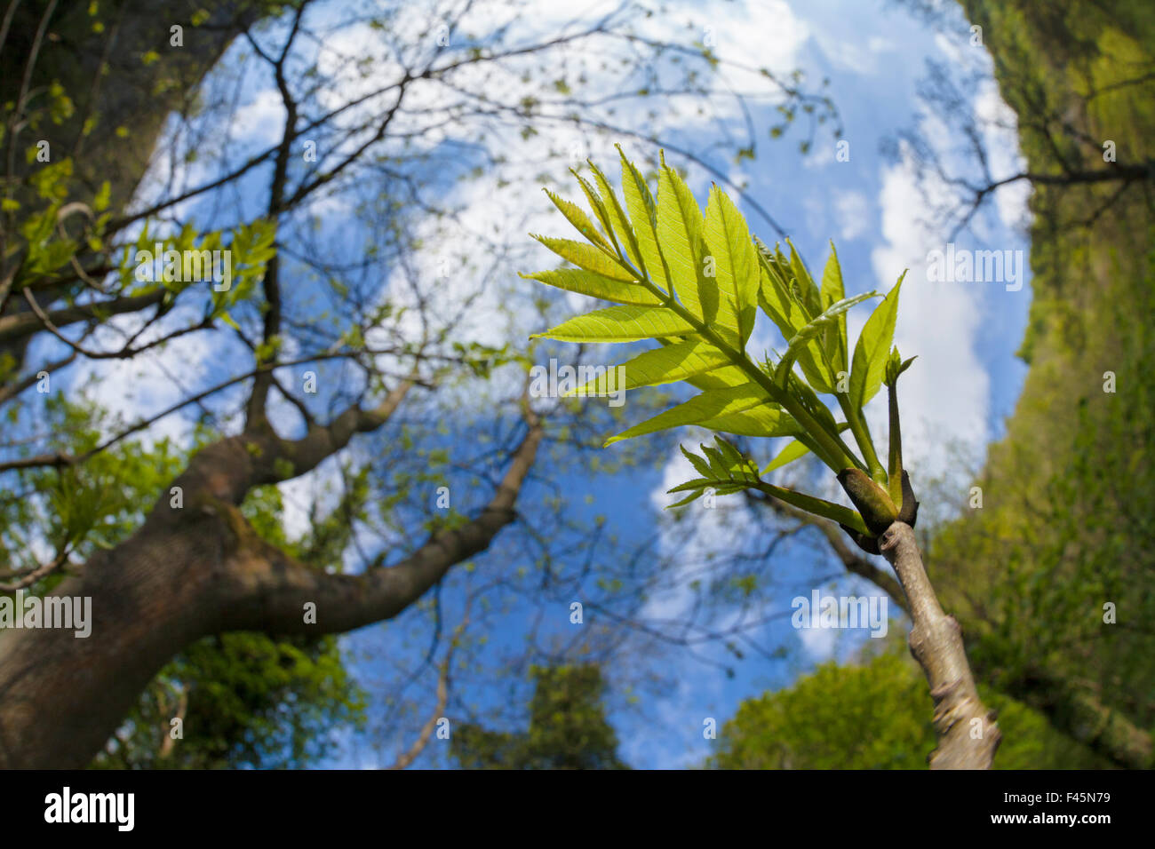 Ash Tree (Fraxinus excelsior) fish eye view of newly emerged leaves, Derbyshire, UK, May. Stock Photo