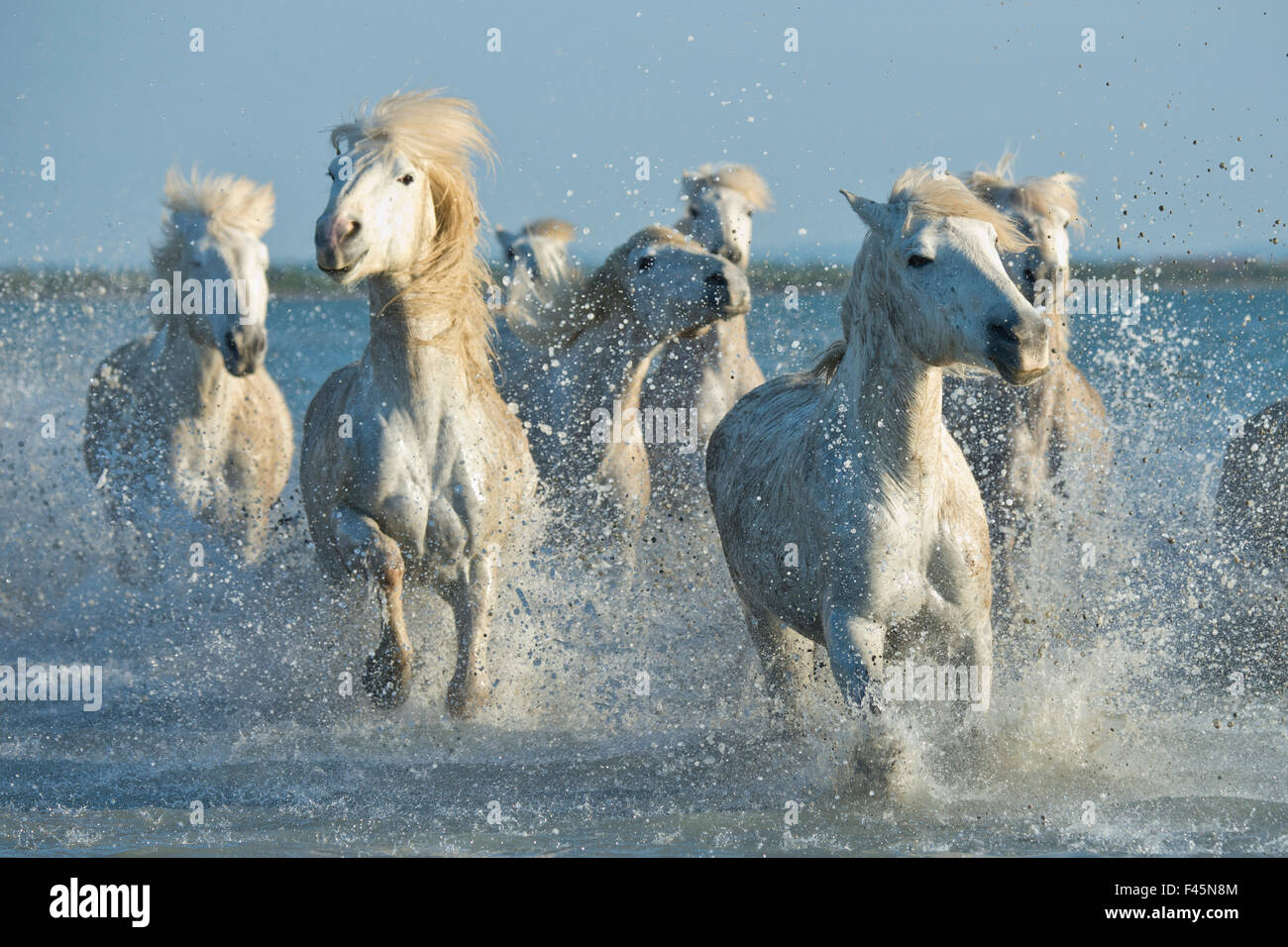 Grey Camargue horses, galloping through water in the Camargue, France, April. - Stock Image