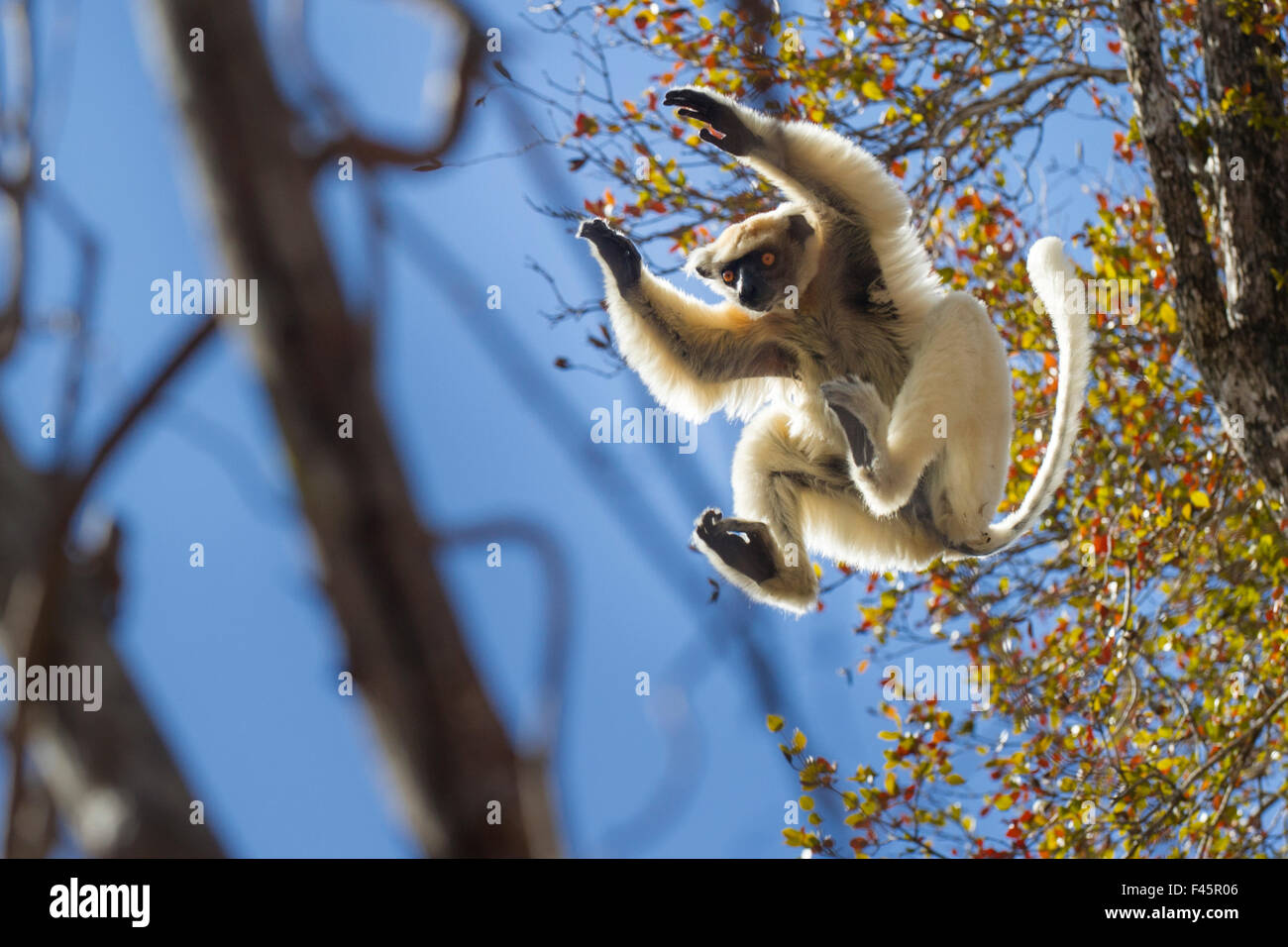 Golden-crowned Sifaka (Propithecus tattersalli) leaping through forest canopy. Forests adjacent to the village of - Stock Image