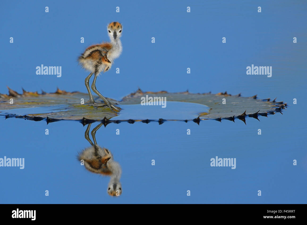 African jacana (Actophilornis africana) chick, one day, standing on leaf, Chobe River, Botswana, April. - Stock Image